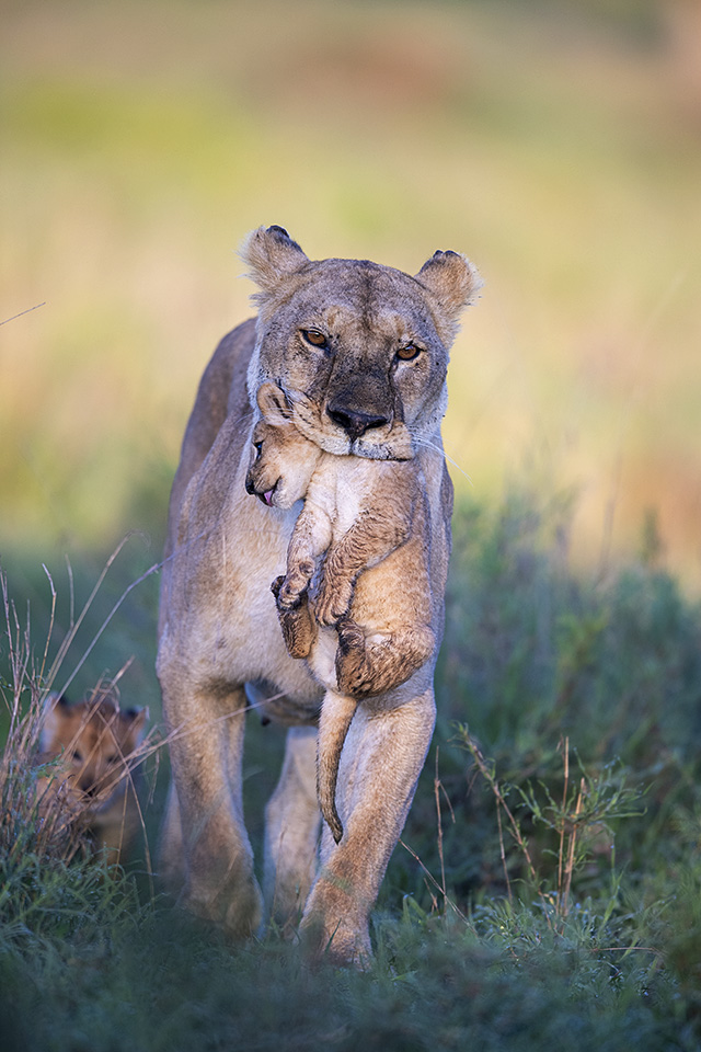 Lioness carrying new born cubs in Serengeti – Part 2