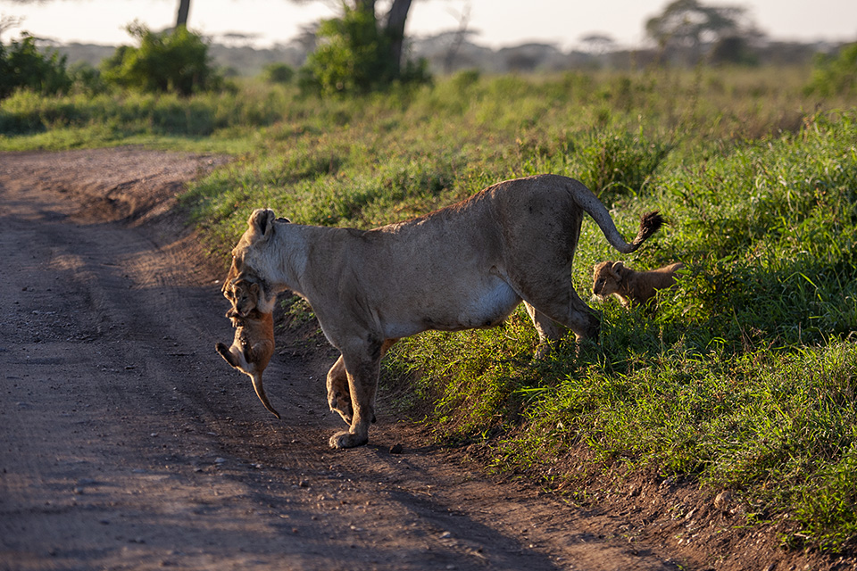 Lioness carrying new born cubs in Serengeti National Park – Final part
