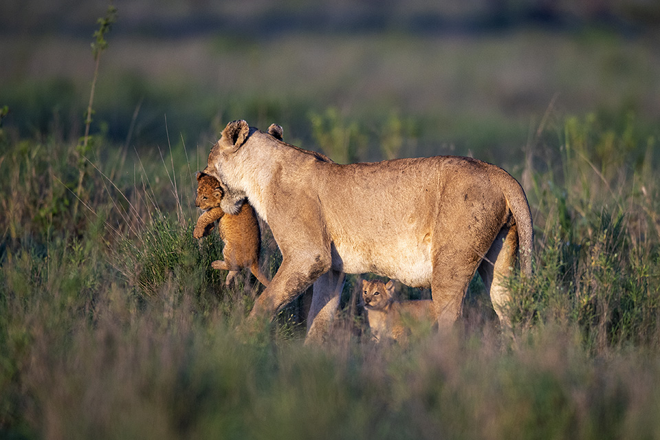 Lioness carrying new born cubs in Serengeti – Part 1
