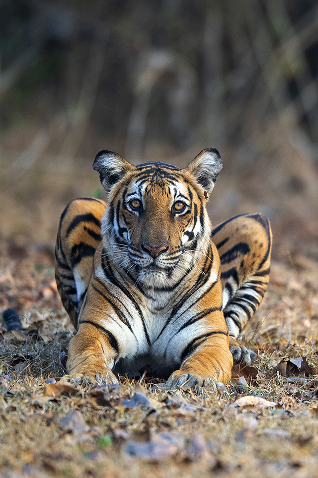 Restless Tiger in Kabini