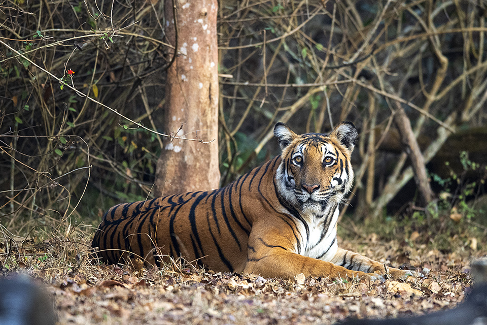 Moods of a Tiger in Kabini