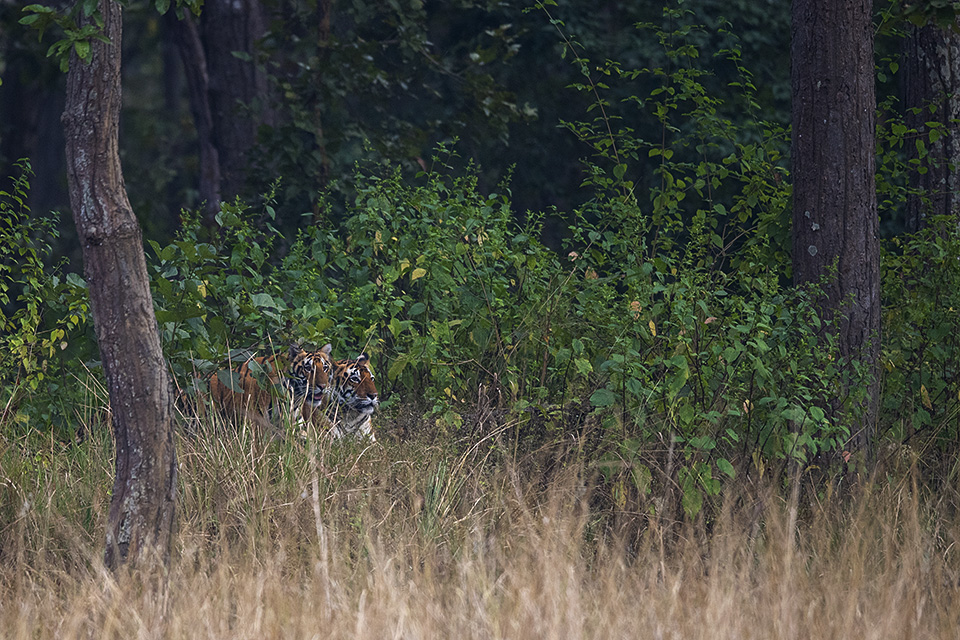 Bengal Tiger sighted in Kanha National Park