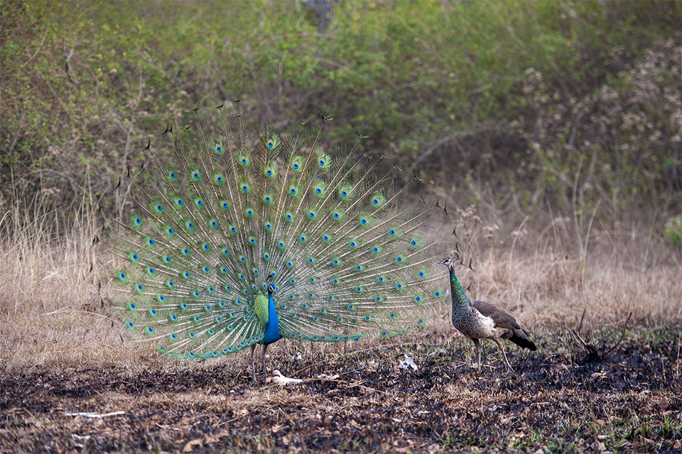 Courtship dance of a Peacock in Bandipur
