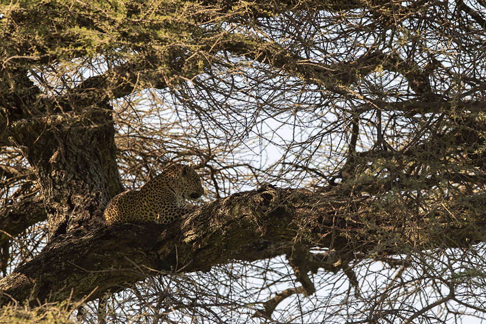 Sleeping Leopard, waiting tourists in Serengeti National Park