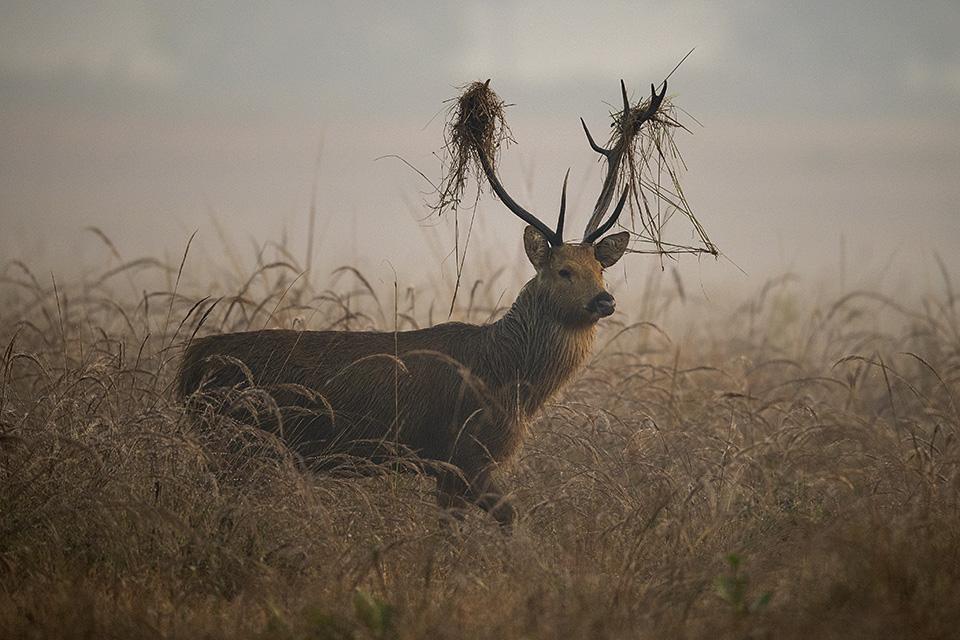Barasingha – Quite at home in Kanha National Park