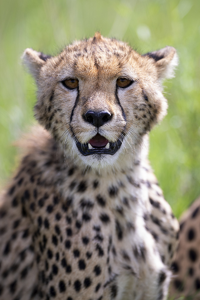 Cheetah with cubs in Serengeti – part 2
