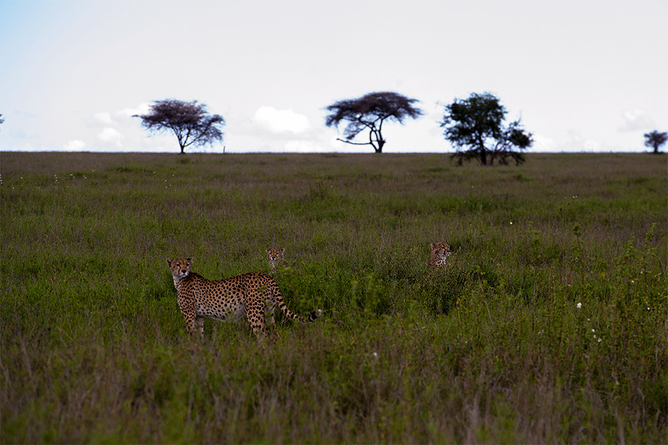 Cheetah with cubs in Serengeti