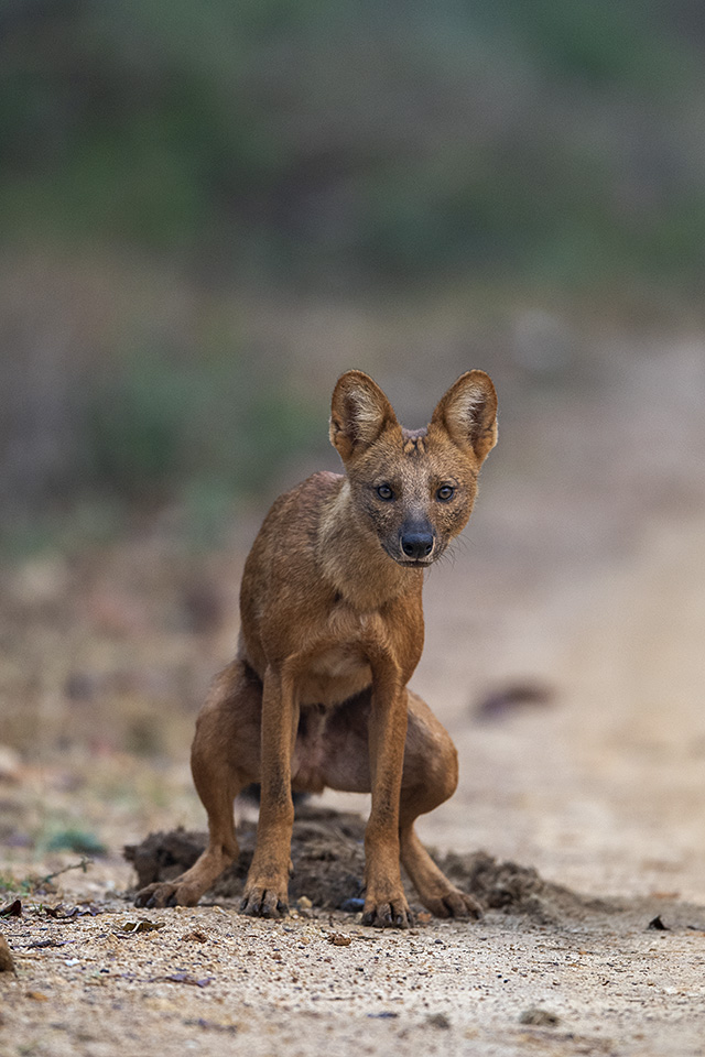 Wild Dogs in Bandipur National Park