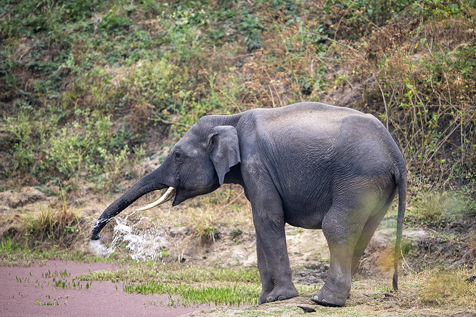 Thirsty Asian Elephant in Bandipur
