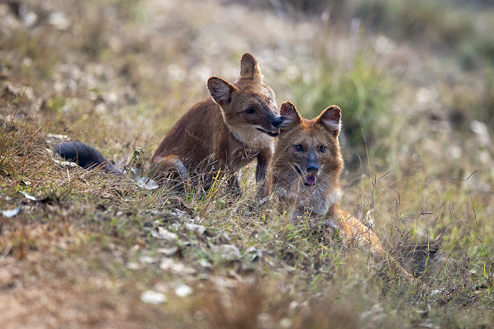 Wild Dogs show in Kanha