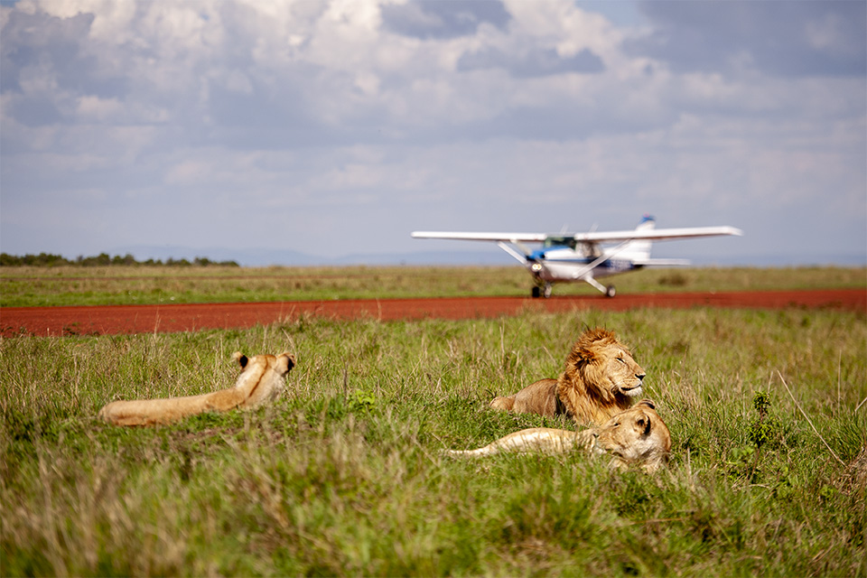 Welcomed by African Lions at Mara Serena Airstrip