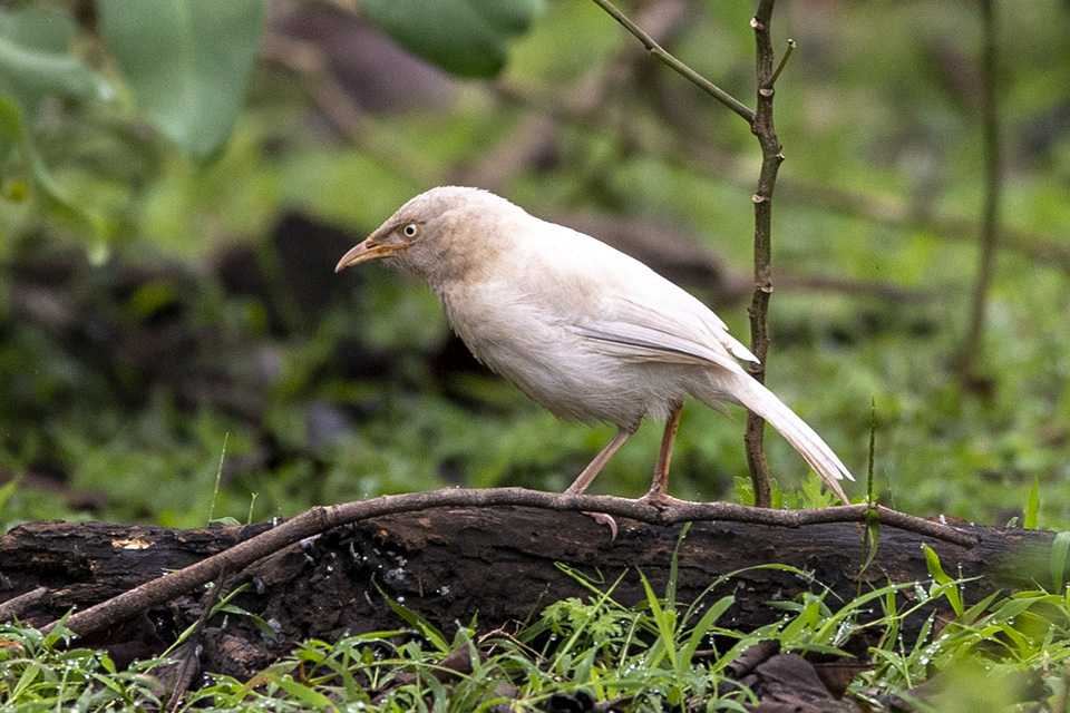 Albino Jungle Babbler spotted in Kabini