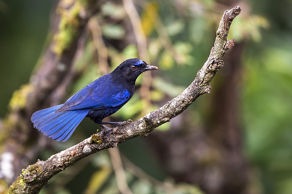 Malabar Whistling Thrush – Birding at Coorg Wilderness Resort