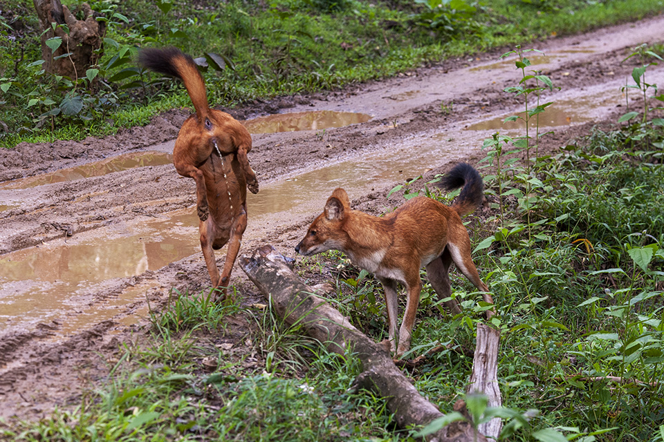 Interesting experience with Wild Dogs in Kabini
