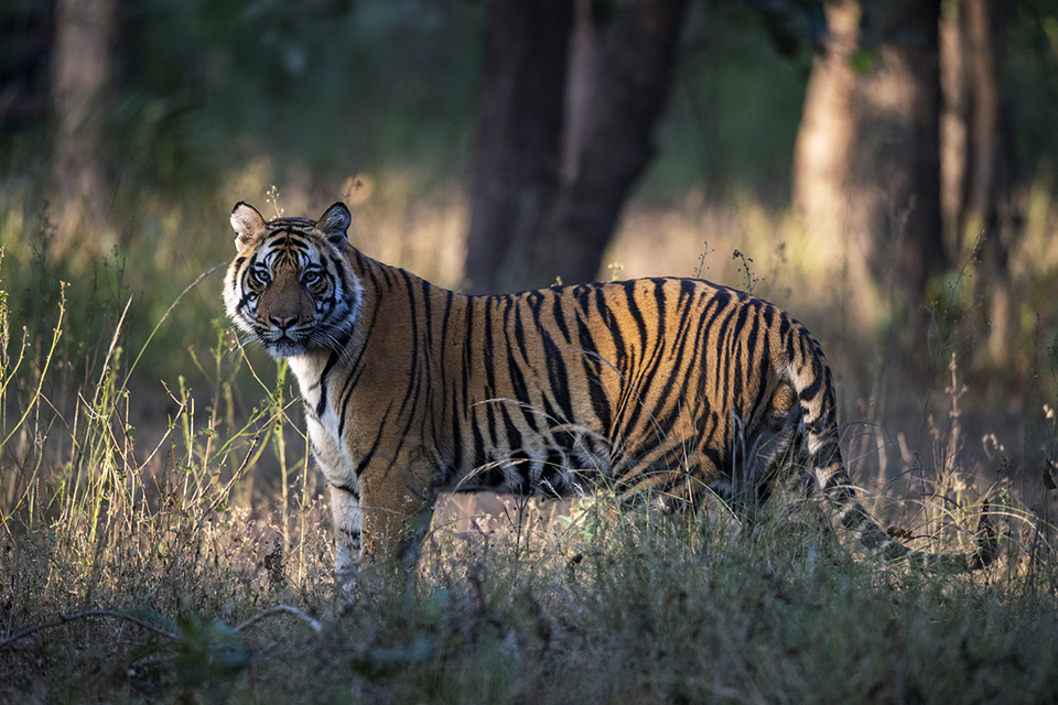 Lazy Tiger cubs in Bandhavgarh